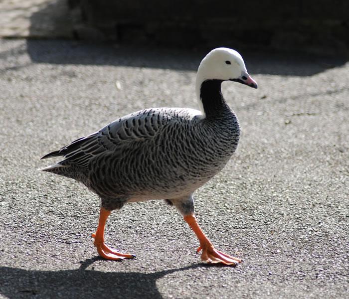 emperor goose